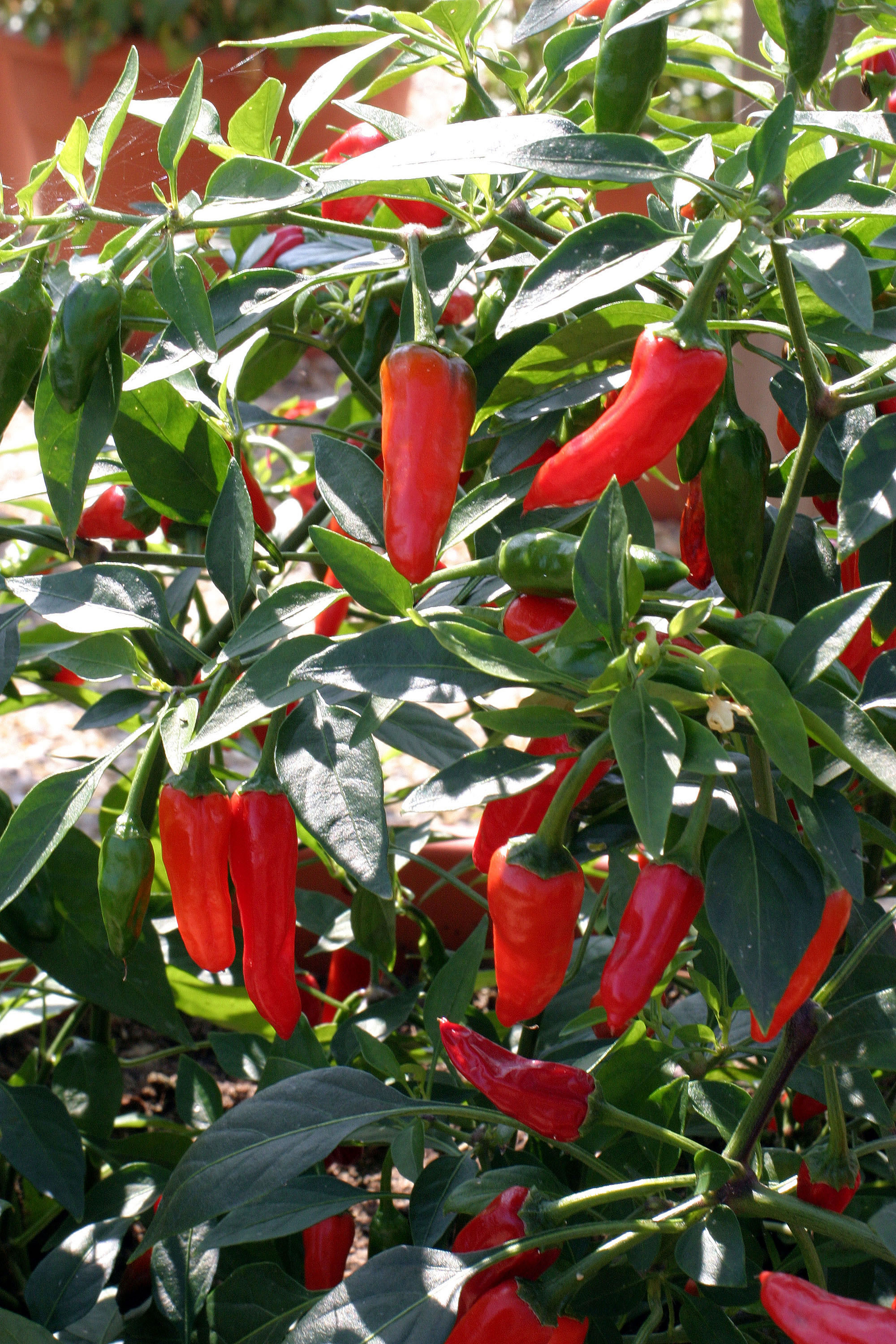 Apache F1 Pepper Hot Seeds Kings Seeds
