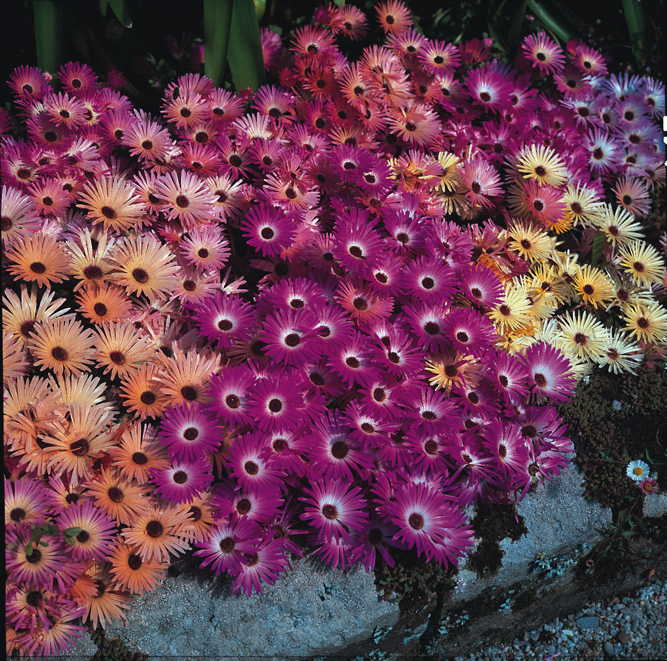 Magic carpet mesembryanthemum seeds kings seeds magic carpet low spreading habit producing masses of brightly coloured daisy like flowers izmirmasajfo