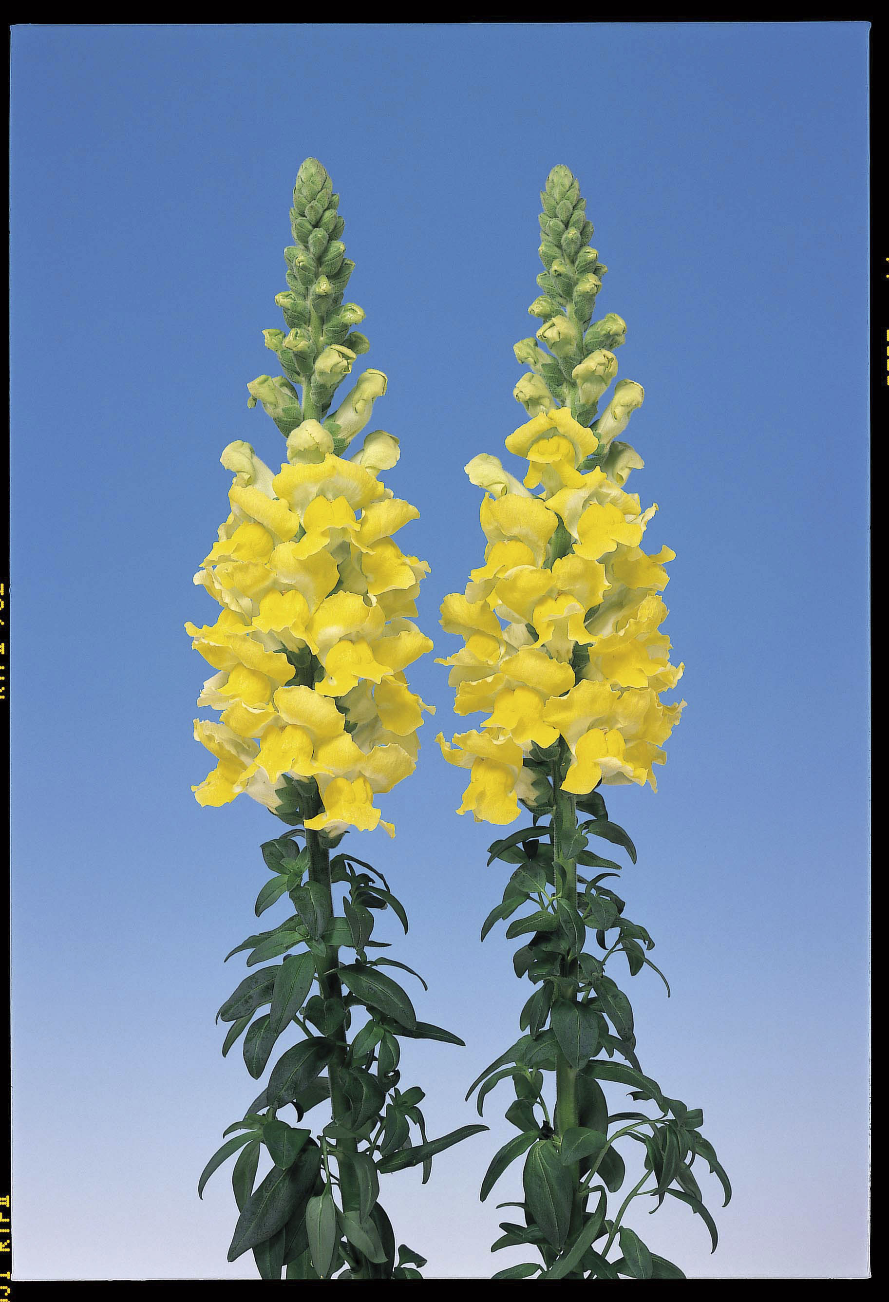 Admiral Yellow F1 Antirrhinum Seeds Kings Seeds