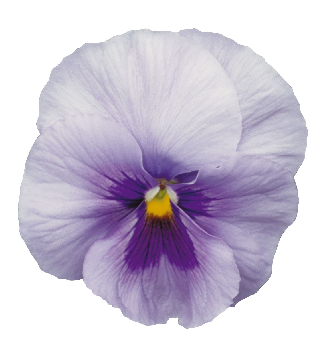 Dynamite Blue Centre F1 Pansy Short Lived Seeds Kings Seeds