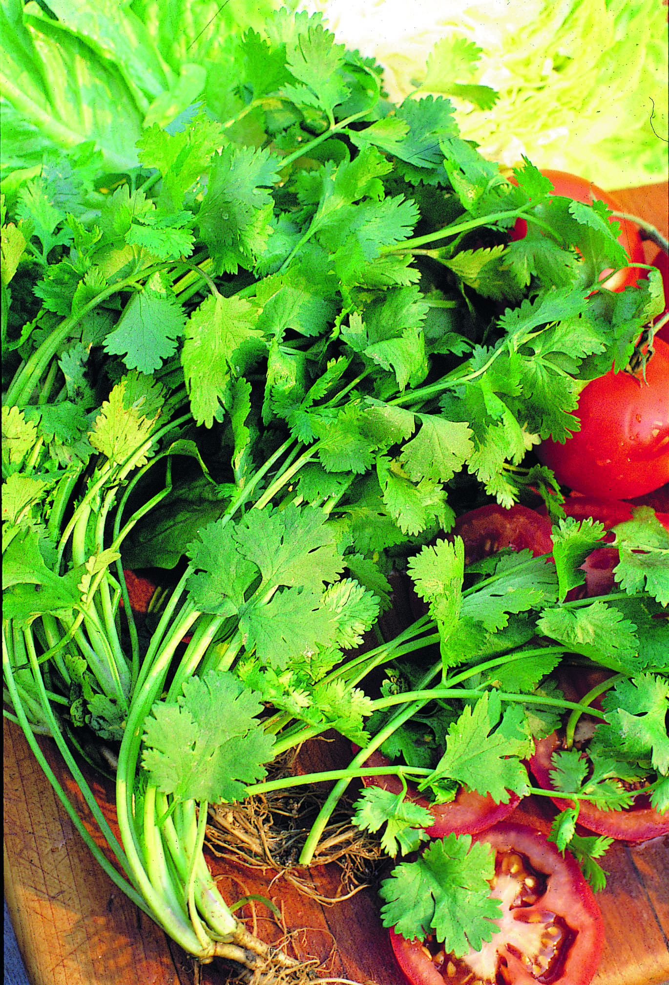 how to grow cilantro from coriander seeds