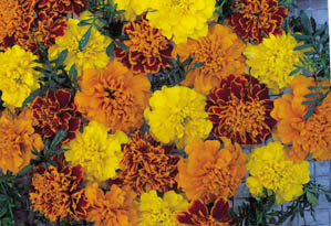 30 Seeds Unwins Pictorial Packet Marigold French Durango Bolero Flower